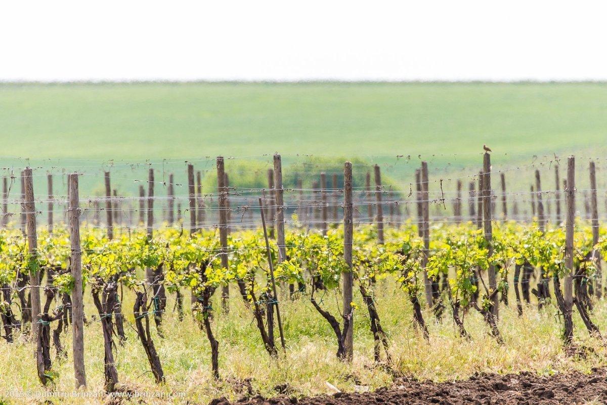 Galerie d'image - Vins de Moldavie Vin Moldave