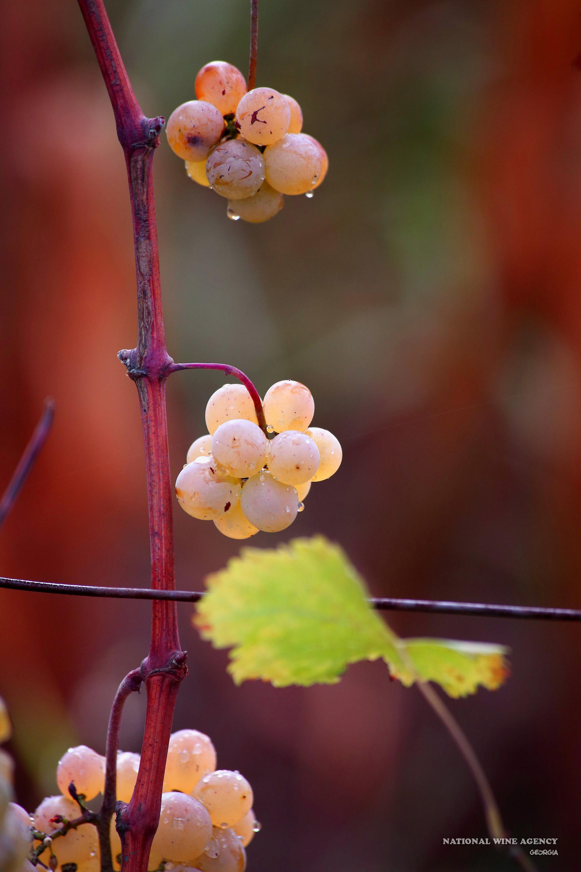 """Galerie d'image - vins-kvevri """"Vins Traditionnels Georgiens"""""""